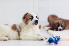 Portrait of young caucasian shepherd puppy lying on carpet at home. Portrait of young caucasian shepherd puppy dog lying on carpet at home stock image