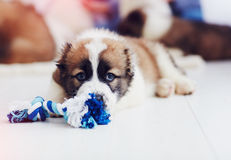 Portrait of young caucasian shepherd puppy lying on the floor at home. Portrait of young caucasian shepherd puppy dog lying on the floor at home stock photography
