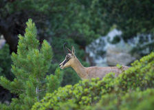 Portrait Of Young Chamois Royalty Free Stock Photography