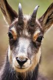 Portrait of a young chamois. Beautiful portrait of a young suede, photographed on the Italian alps Royalty Free Stock Photography