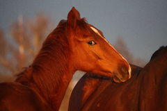 Portrait of young chestnut foal Stock Image