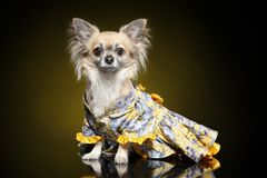 Chihuahua dog in clothes stock photography