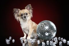 Portrait of young chihuahua dog royalty free stock image