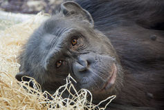 Portrait of a young Chimpanzee Royalty Free Stock Photos