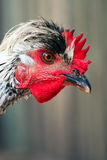 Portrait of a young cock Royalty Free Stock Images