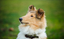 Portrait of young Collie dog. Against green grass Stock Images