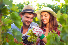 Portrait young couple in vineyard during harvest season Royalty Free Stock Images