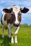The portrait of young cow Royalty Free Stock Image