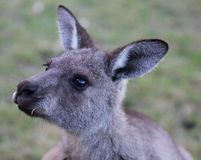 Portrait of young cute australian Kangaroo with big bright brown eyes. Australia royalty free stock photos
