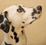 Portrait of young Dalmatian. Royalty Free Stock Photography