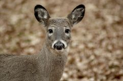 Portrait of young deer Royalty Free Stock Photos
