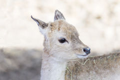 Portrait of a young deer Stock Image