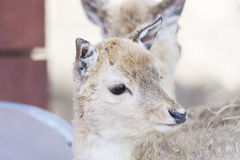 Portrait of a young deer Royalty Free Stock Images