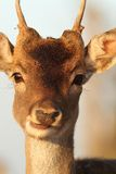 Portrait of young deer buck Stock Photos