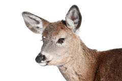 Portrait of young deer Stock Image