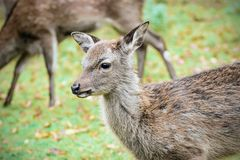 Young Deer on a meadow Royalty Free Stock Photos