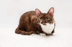 Portrait of young devon rex cat Stock Photos