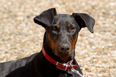 Portrait of a Young Doberman Stock Photography