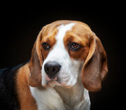 Portrait of beagle Royalty Free Stock Image