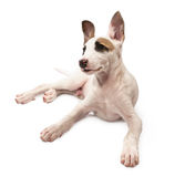 Portrait of a young dog Royalty Free Stock Photos