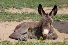 Portrait of a young donkey Stock Photo