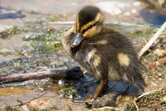 Portrait of a young Duckling. Stock Photos