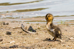 Portrait of a young Duckling. Royalty Free Stock Photos
