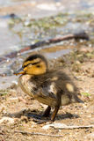 Portrait of a young Duckling. Stock Images