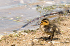 Portrait of a young Duckling. Royalty Free Stock Image