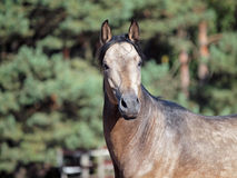 Portrait of young dun horse royalty free stock photo