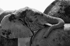 Portrait of a young elephant in black and white Stock Photos
