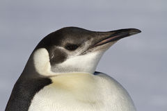 Portrait of a young emperor penguin 1 Stock Photo