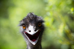 Portrait of young  Emu a Zoo. Royalty Free Stock Image
