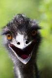 Portrait of young  Emu a Zoo. Stock Photography