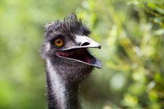 Portrait of young  Emu a Zoo. Stock Photos