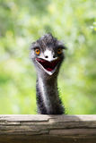 Portrait of young  Emu a Zoo. Stock Image