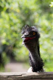 Portrait of young  Emu a Zoo. Royalty Free Stock Images