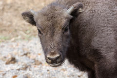 Portrait of a young European bison Royalty Free Stock Image