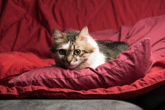 Portrait of a young european male cat on red couch staring. Portrait of a young european male tabby cat on red couch staring Royalty Free Stock Images