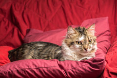 Portrait of a young european male cat on red couch staring. Portrait of a young european male tabby cat on red couch staring Royalty Free Stock Image