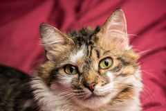 Portrait of a young european male cat on red couch staring. Portrait of a young european male tabby cat on red couch staring Royalty Free Stock Photo