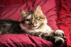 Portrait of a young european male cat on red couch staring. Portrait of a young european male tabby cat on red couch staring Royalty Free Stock Photography