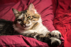 Portrait of a young european male cat on red couch staring Stock Photography