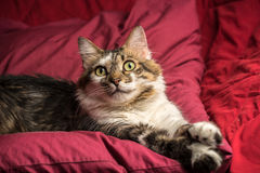 Portrait of a young european male cat on red couch staring Royalty Free Stock Photo