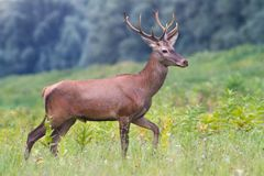 Portrait of Young european red deer in the autumn landscape. Portrait of Young european red deer Cervus elaphus in the autumn landscape royalty free stock image