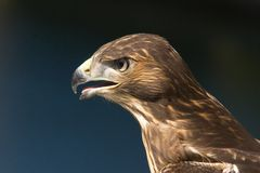 Portrait of young falcon bird Stock Photo