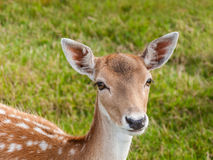 Portrait of a young fallow deer. A very nice young fallow deer looks at you with its big brown eyes Stock Images