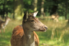 Portrait of a young fallow deer. Young reindeer in the zoological garden Hanover Germany Stock Photos