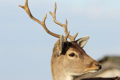 Portrait of young fallow deer Royalty Free Stock Images