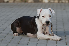 Portrait of young female american staffordshire terrier (Amstaff) playing Stock Photo